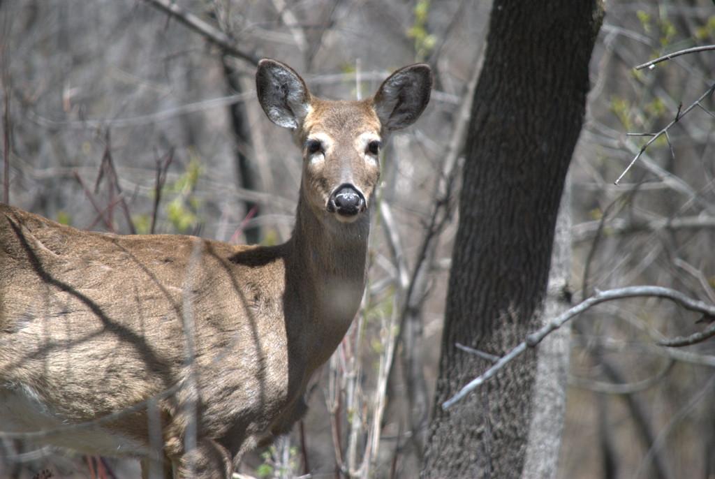 duluth deer