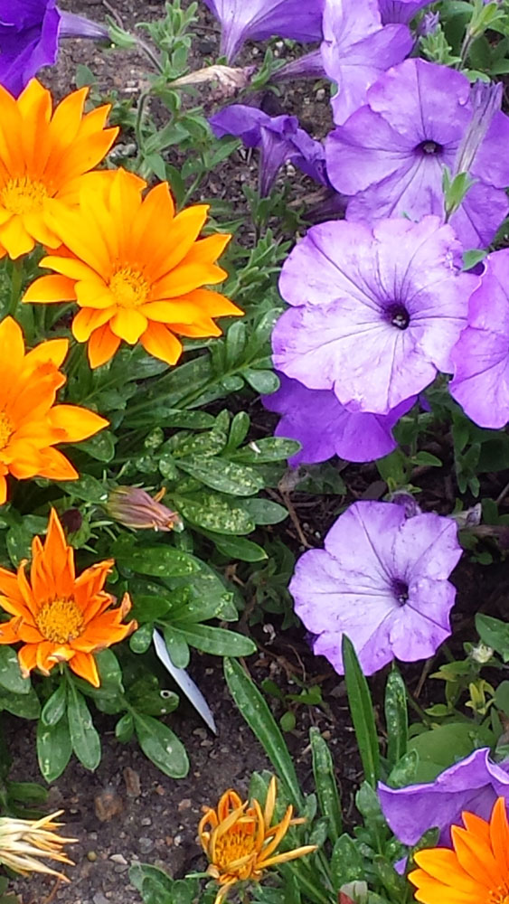 Orange and Purple Flowers