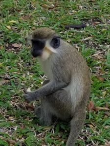 Monkey in St. Kitts